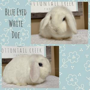 Blue eyed white doe